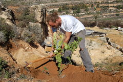 Planting olive trees in Palestine