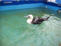 Gannet in rescue centre